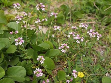 海浜植物?(由布島亜熱帯植物楽園) 海岸に見事に群生していたのが、この花たち どうやら、ハマナデ
